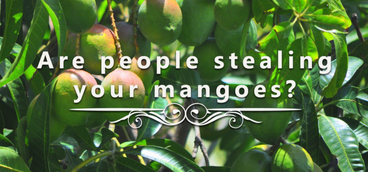 Are People Stealing Your Mangoes?